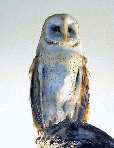 Wasatch Audubon: Feather Talk: Barn Owl