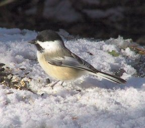 Wasatch Audubon: Feather Talk: Chickadee